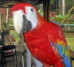 1-year-old-Scarlet-Macaw-Milagro_Ara-macao