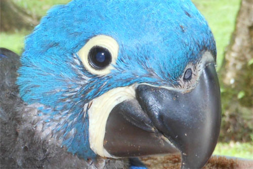 About Hyacinth Macaws