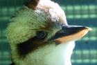 One of our Kookaburras