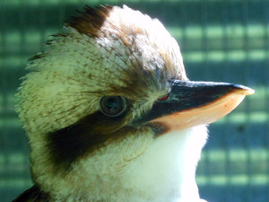 Wake up to the sound of Kookaburras...