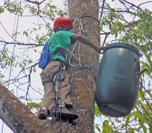 Tree climber placing the Nest box into a tree