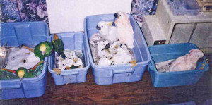 Tuti and her mollucan Cacatoo friends 1986