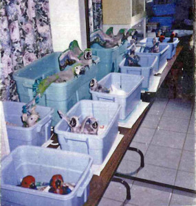 Typical Breeding Season 1986 from 40 - 60-chicks per season