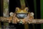 Rosenberg's tree frog ~ Hypsiboas rosenbergi