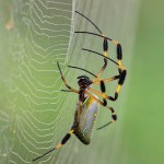 Nephila clavipes - Golden Orb Web Spider Ave Azul de la Osa Osa Peninsula