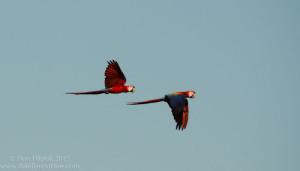 Scarlet Macaws ~ Ara Macao