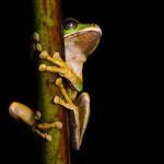 Smilisca phaeota - New Granada cross-banded tree frog