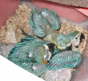 3 Blue and Gold Macaw Chicks about 7 weeks old