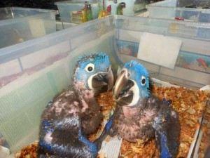 7 week old Hyacinth Macaw chicks