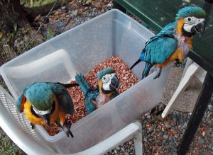 Baby Blue and Gold Macaws just before 8 weeks