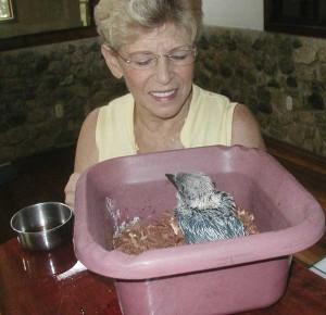 Baby Kookaburra at 3 weeks