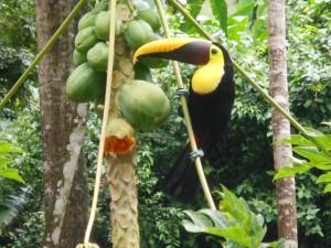 Chestnut mandibled Toucan - Ramphastos swansonai
