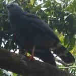 Crane Hawk - Geranospiza caerulescens