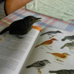Female Black-hooded Antshrike - Thamnophilus bridgesi - standing on the page that the bird is depicted on