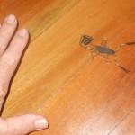 Late night bathroom Scorpion - Ceniruroides margaritatus