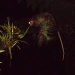 Opossum_Virgineanus