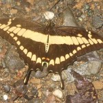 Papilio sps