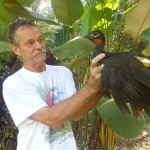 Rescued Baby Red-crested Guan