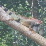 Rio Iguana Iguana in Hobo Tree
