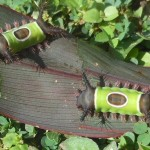 Saddleback moth Catarpillar