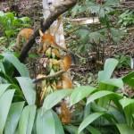 Squirrel Monkyes- Saimiri oerstedii