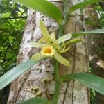 Vanilla Madagascar Orchid