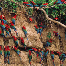 Clay licks at Tambopata Reserve Manu National Park, Peru